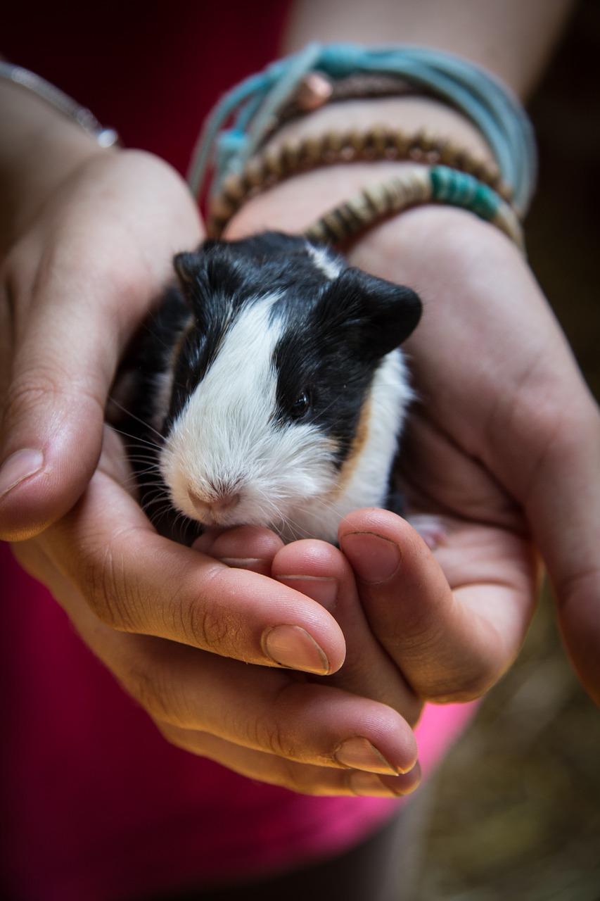 Enjoyable Info: Guinea Pigs | EntirelyPets Weblog 6